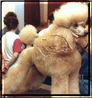 Beverly Golden Sunpower, Standard Poodle, apricot