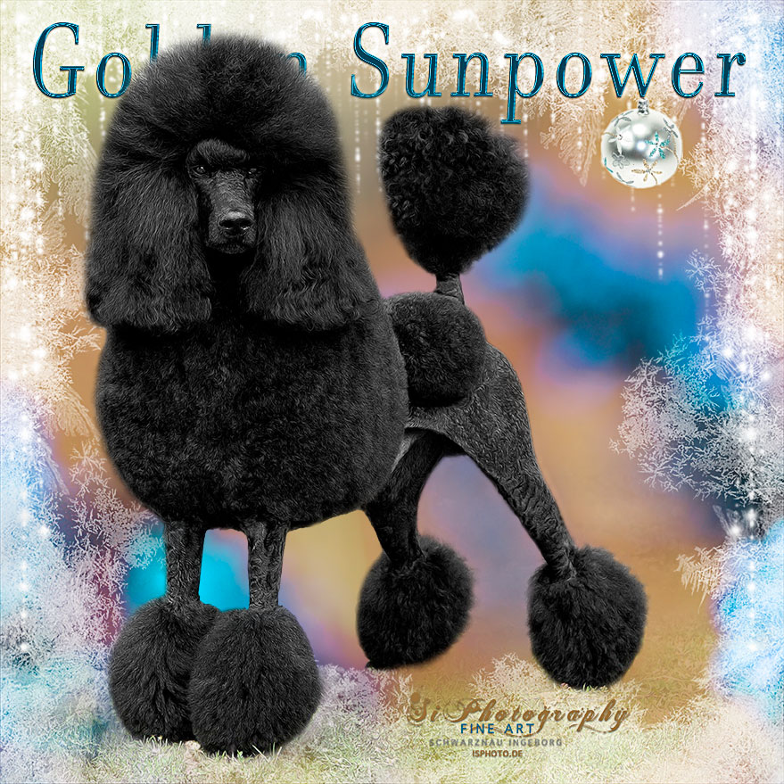 GOLDEN SUNPOWER - Pudel, Chinese Crested