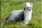 "Insolente Little Champs ""Lilly"" - Chinese Crested Dog, Powder Puff,  schwarz/weiss"